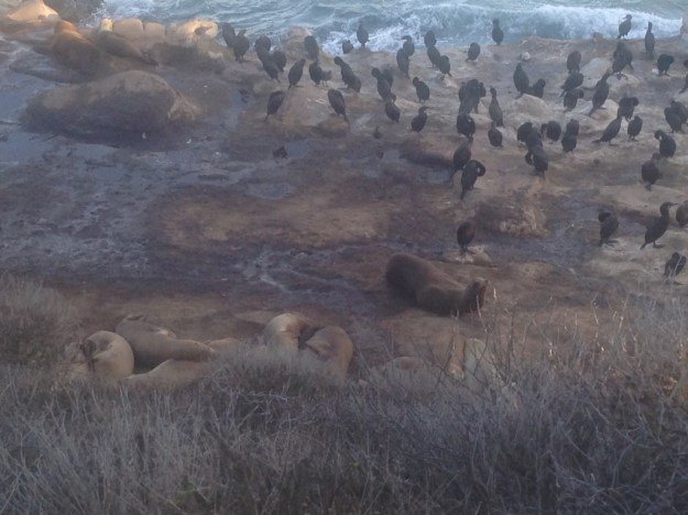 Seals & Birds at La Jolla Cove