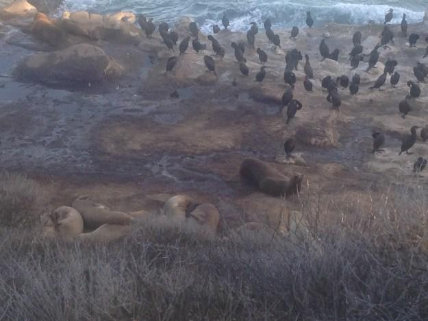 Seals & Birds at La Jolla Cove