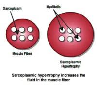 Muscle Fiber - Sarcoplasm & Myofibrils