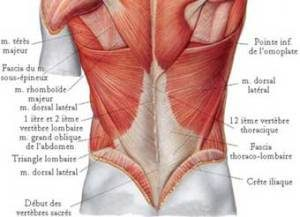 muscles of your back