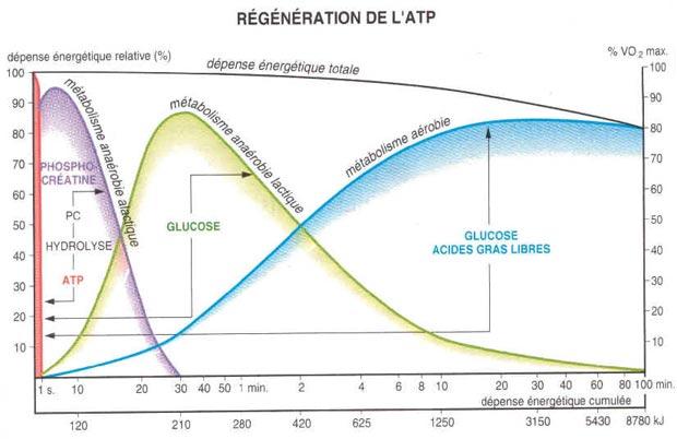 Energie cellulaire anaérobie aérobie ATP phosphocréatine lactate