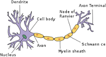 axon, myelin sheath, dendrite