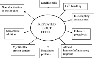 repeated bout effect bodybuilding