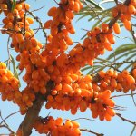 Sea Buckthorn For Weigth Loss – Dr. Oz Sheds Light On This New Supplement
