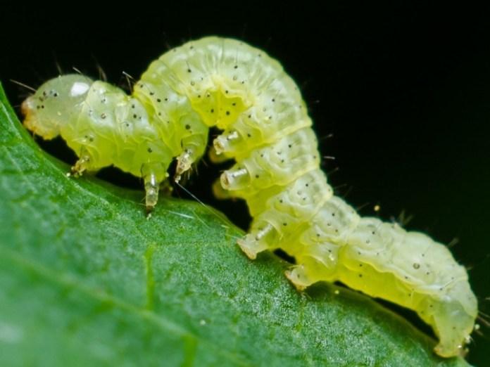 Inchworm呢個動作,完全似足毛毛蟲嘅爬行方法。
