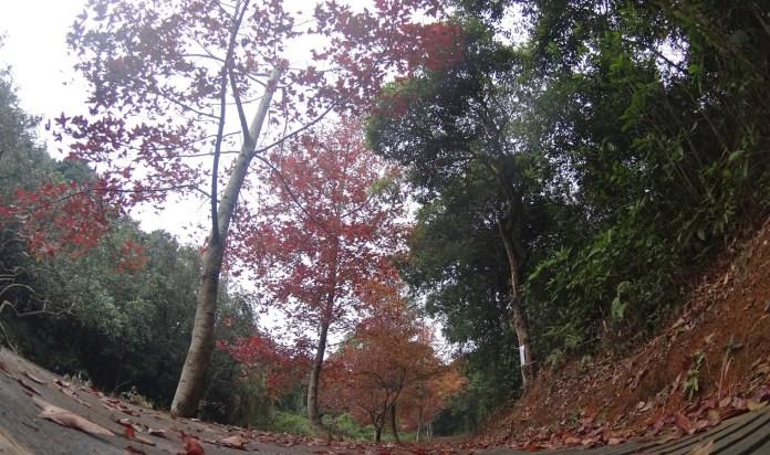 往清快塘一線的紅葉 (上年的風光)