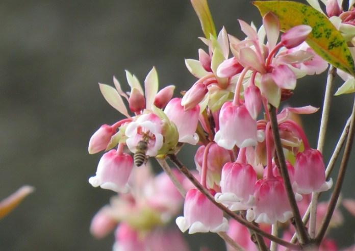 嘉道理農場內的野生吊鐘,現已開花。