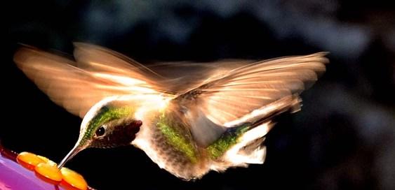 Hummingbird Light LR
