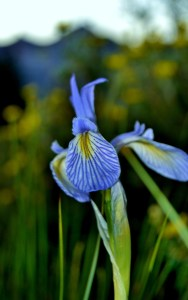 blue mountain iris descriptive color teacher
