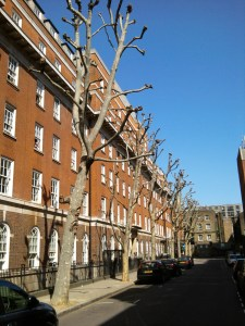 London Plane trees in Foley Street were pollarded during early April cutting off all the leaf growth