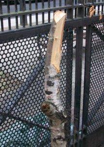 Birch tree stump.