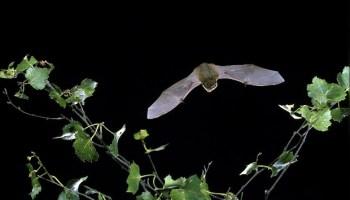 Bat flying at night.