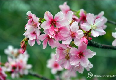 新社大排櫻花