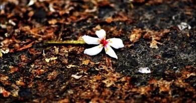 出水坑桐花