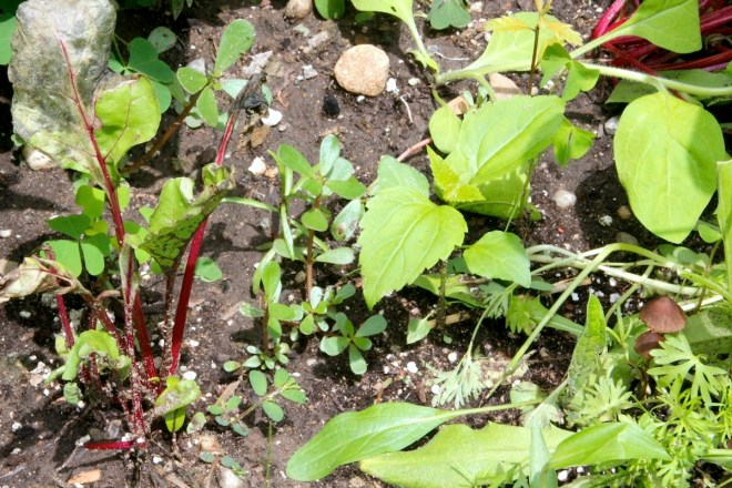 Baby Indian Mustard plant (right, with serrated leaves)