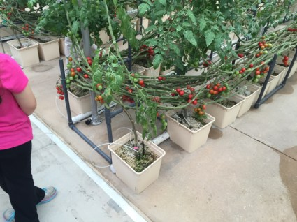 lean and lower tomatoes