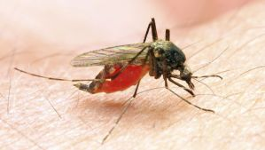 Working in a malaria genome modification pipeline