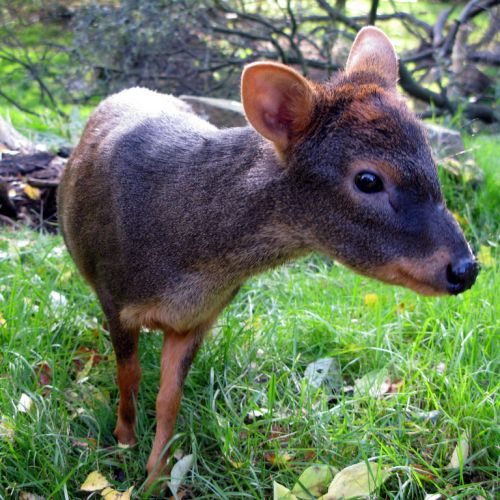 Northern Pudu – the World's Smallest Deer