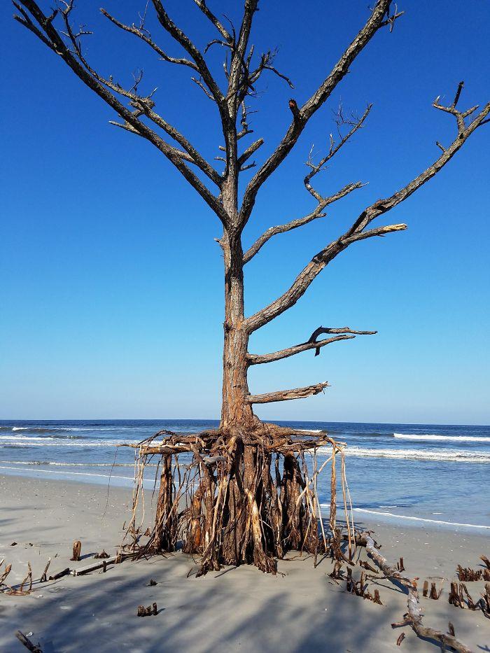 Hurricane Irma Eroded Away The Dune This Pine Tree Was Growing On. Talbot Island State Park, Nassau Co., Florida