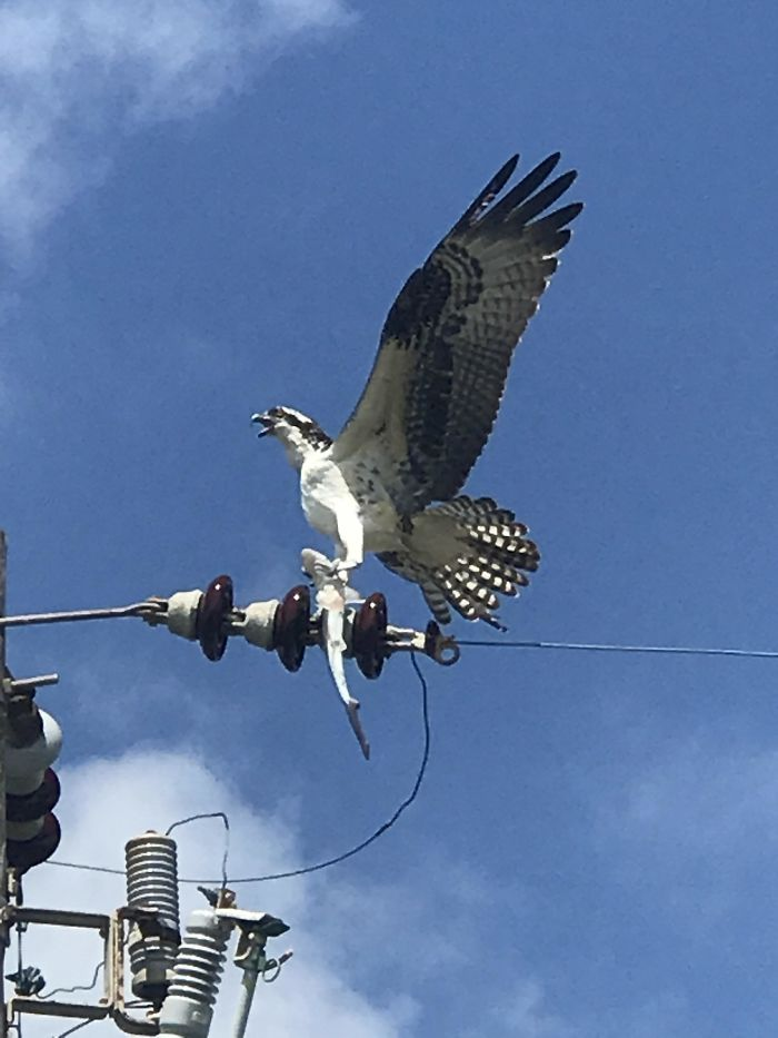 Badass Osprey I Saw Today At The Beach Frying A Baby Shark For Dinner On A Power Line