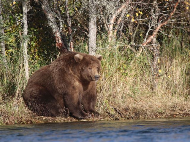 A very fat brown bear sitting at the edge of the woods by a stream and looking at the water.
