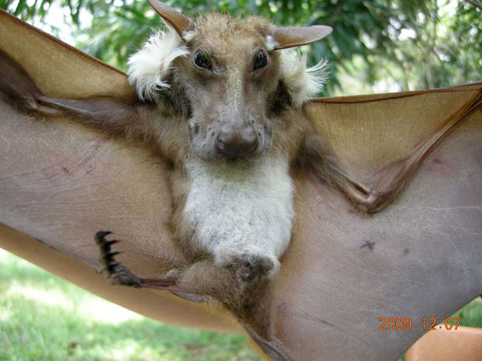 44 Species Of Bats That Look Too Bizarre To Be Considered Bats