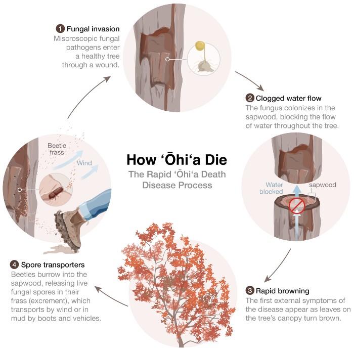 How 'ōhi'a Die by Daisy Chung