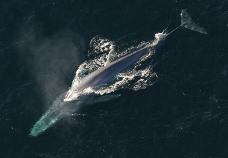 Blue whales switch to daytime singing before migrating