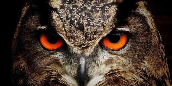 owl, bird, eyes