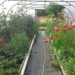 five star polytunnels 14 x 36 june poppies and crops