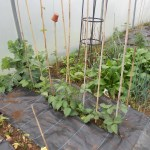 black woven ground cover in five star polytunnel onions turnips garlic may