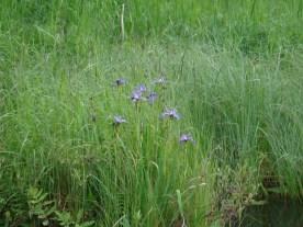 Irises.