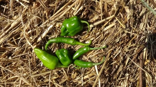 last-garden-harvest-10-10-2016-10