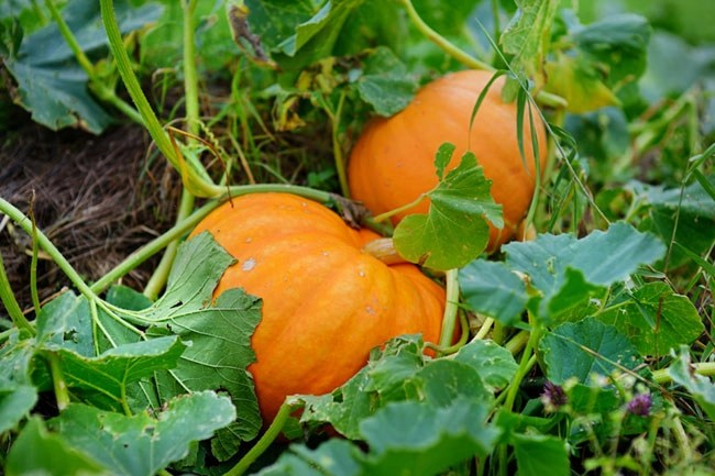 Texas Vegetable Planting Guide Fall What To Plant In August In Texas Fixin Texas
