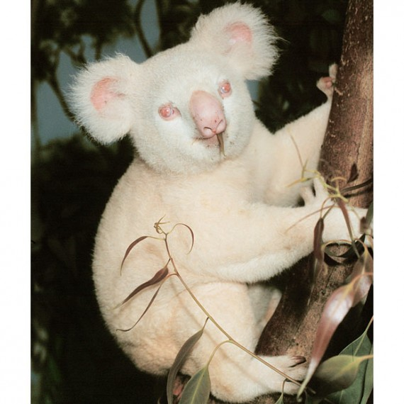 koala-white-animals-570x570