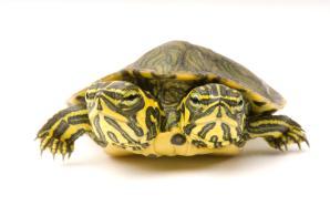 17 Çok Tatlı Kaplumbağa Resmi
