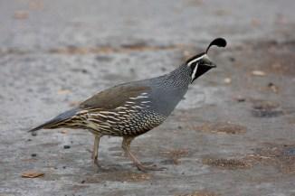 california-quailmb06-16-09