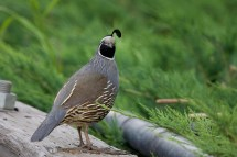 california-quailmc06-16-09