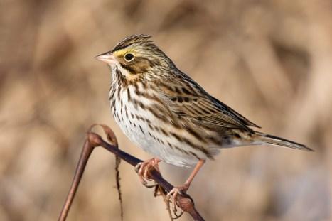 savannah-sparrowc011010_72ppi