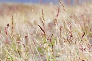 Evolution of grasses
