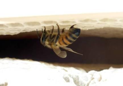 Aha! Die Bienenflucht zeigt Wirkung, nur einzelne Damen...