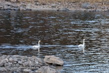 Swans on Storevatnet