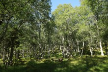 In the birch forest