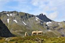 Sheep, living the good life
