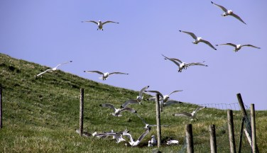 Seagulls taking a mudbath!