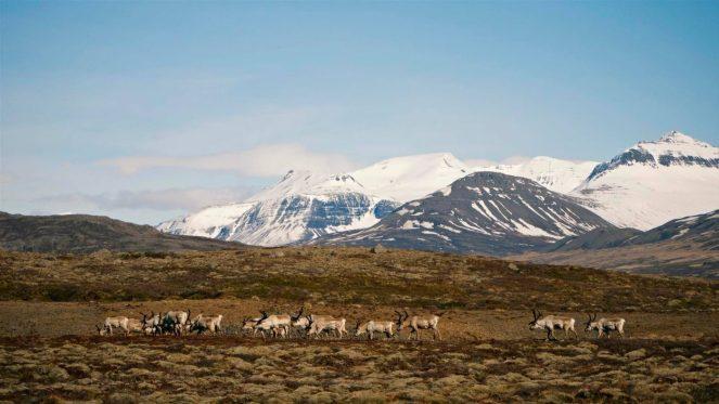 Reindeers in Breiðdalsvík