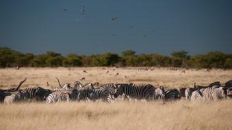Zebry splívají