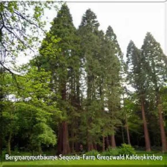 Sequoiafarm Kaldenkirchen - Freizeit-Tipp für Spaziergaenger im Grenzwald Kaldenkirchen