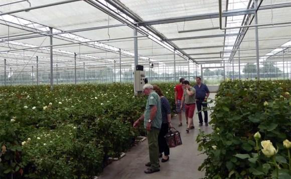 Schnittrosen-Produktion im Treibhaus Nettetal Niederrhein NRW
