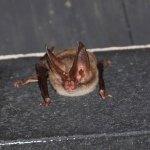 Randy. bat maternity season (FWC)